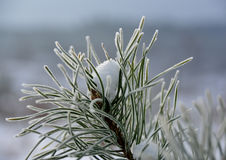 Frost on pine-tree Royalty Free Stock Image