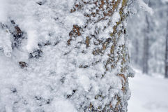 Frost on Pine  tree trunk Royalty Free Stock Image
