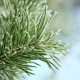 Frost on pine tree Royalty Free Stock Images