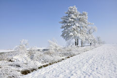 Frost pine in a winter day Royalty Free Stock Photos