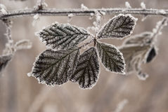 Frost on plant Stock Photography