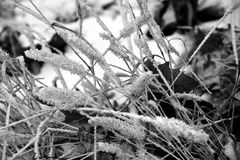 Frost on a plant in Black and White Stock Photography