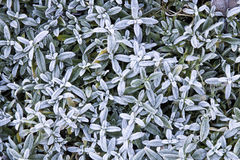 Frost plant flat lay. Nice cold winter morning background. Stock Photo