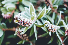 Frost on plants Royalty Free Stock Photography