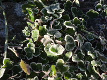 Frost on the plants Royalty Free Stock Photos