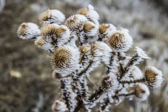 Frost. Plants frosen by strong winter frost Stock Photography