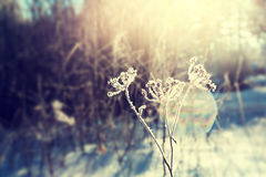 Frost on the plants in winter forest and sunlight Royalty Free Stock Photos