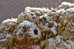 Frost on a pollarded willow tree stock images
