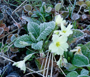 Frost on Primrose Royalty Free Stock Image