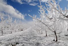 Frost protection and snow. Spring frost protecrion in orchard with snow Stock Photos