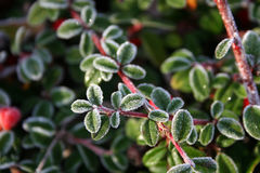 Frost on pyracantha Stock Images