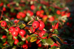 Frost on pyracantha Royalty Free Stock Photos