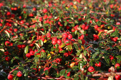 Frost on pyracantha Royalty Free Stock Image