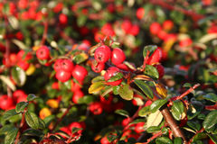 Frost on pyracantha Royalty Free Stock Photo