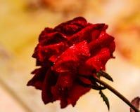 Frost que derrete de uma rosa fotos de stock royalty free