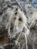 Frost-rambling plant Stock Image