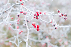 Frost red berries Stock Photos