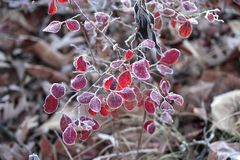 Frost on red leaves royalty free stock photo