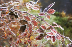 Frost Red leaves Royalty Free Stock Image