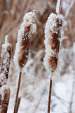 Frost reed Stock Images