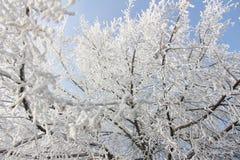 Frost revestiu Linden Tree imagens de stock