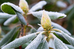 Frost on Rhododendron Stock Photo