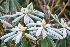 Frost on Rhododendron stock images