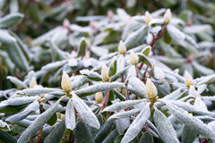 Frost on Rhododendron Stock Photography