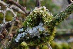 Frost a rimé mousse et lichen sur un chêne photos libres de droits