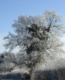 Frost rimed tree Royalty Free Stock Images