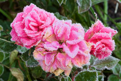 Frost on Roses Stock Images