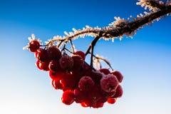 Frost On The Rowan Berries. The sun shines beautifully in the frost on the rowan branches in the wintertime stock photos