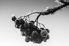 Frost On The Rowan Berries Royalty Free Stock Image
