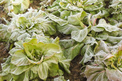 Frost salad after a cold night in winter Stock Photos