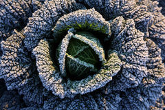 Frost on savoy cabbage. At early december morning Stock Images