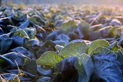 Frost on savoy cabbage field Stock Photo