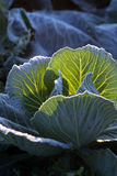 Frost on savoy cabbage field Stock Image