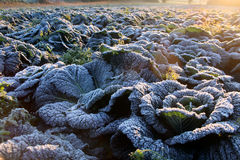 Frost on savoy cabbage field. Frost on savoy cabbage at early december morning (morning sun on back Royalty Free Stock Photos