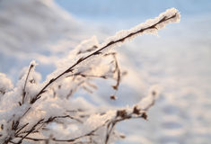 Frost and snow on the branches, winter background. Branches with snow in the sunset stock images