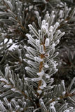 Frost on spruce branch Stock Photo