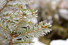 Frost on spruce branch Stock Images