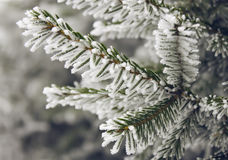 Frost on spruce branch Stock Image