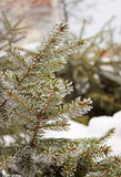 Frost on spruce branch Stock Photos