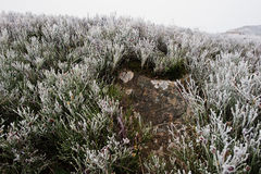 Frost stone background frozen pine grass at mountains. First sno Royalty Free Stock Photography
