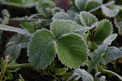 Frost on strawberries Stock Photography