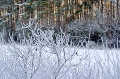Frost sui cespugli Immagini Stock