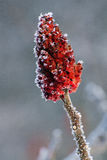 Frost on sumac in winter Stock Photos