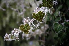 Frost sur Ivy Branch, macro photographie image libre de droits
