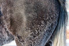 Frost sur la fourrure de cheval Image libre de droits