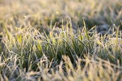 Frost sur le blé Photos stock